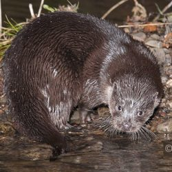 Otter photography